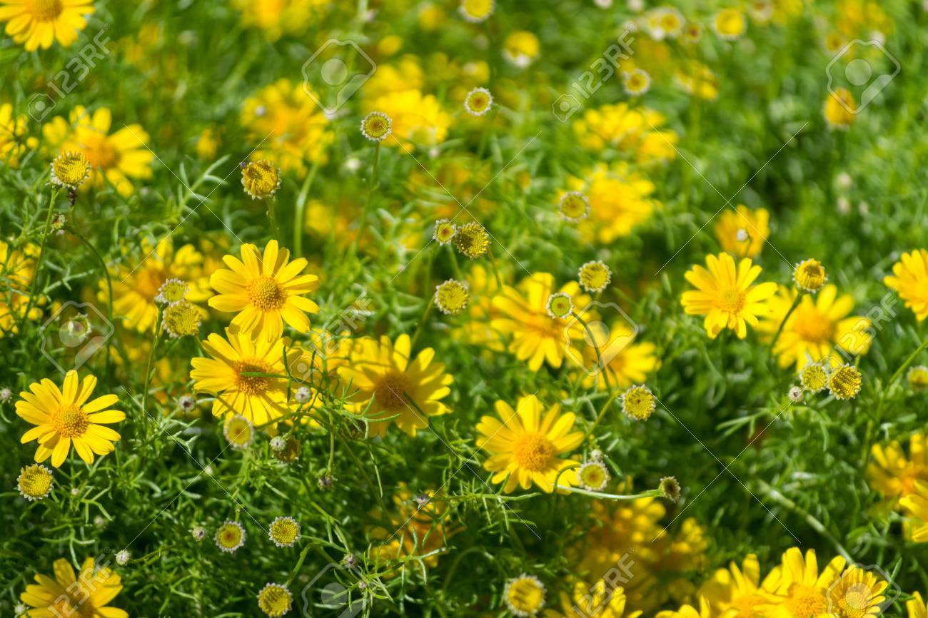 Meadow With Group Of Small Yellow Daisy Flowers Springtime In