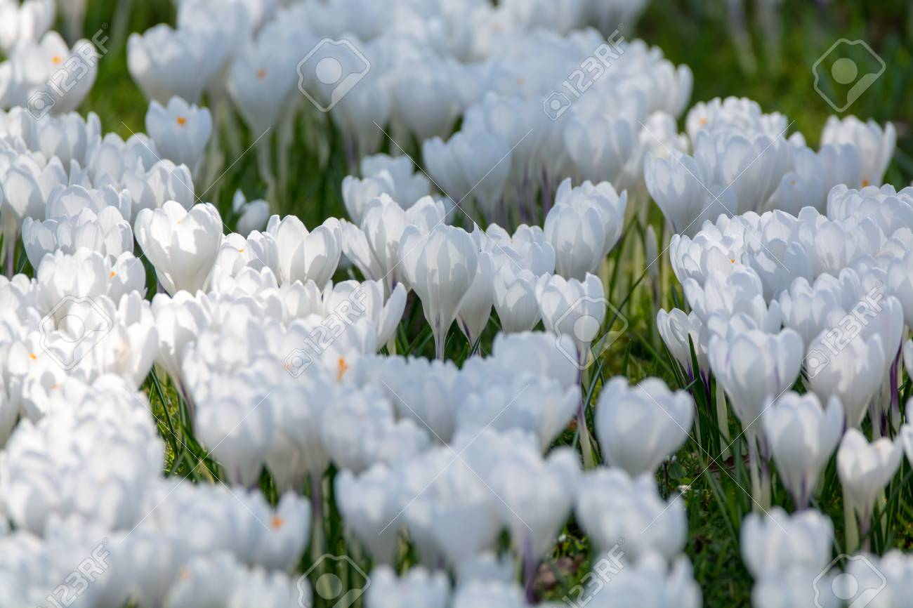 Spring white crocus flowers on green grass spring season in stock spring white crocus flowers on green grass spring season in holland stock photo 97230076 mightylinksfo