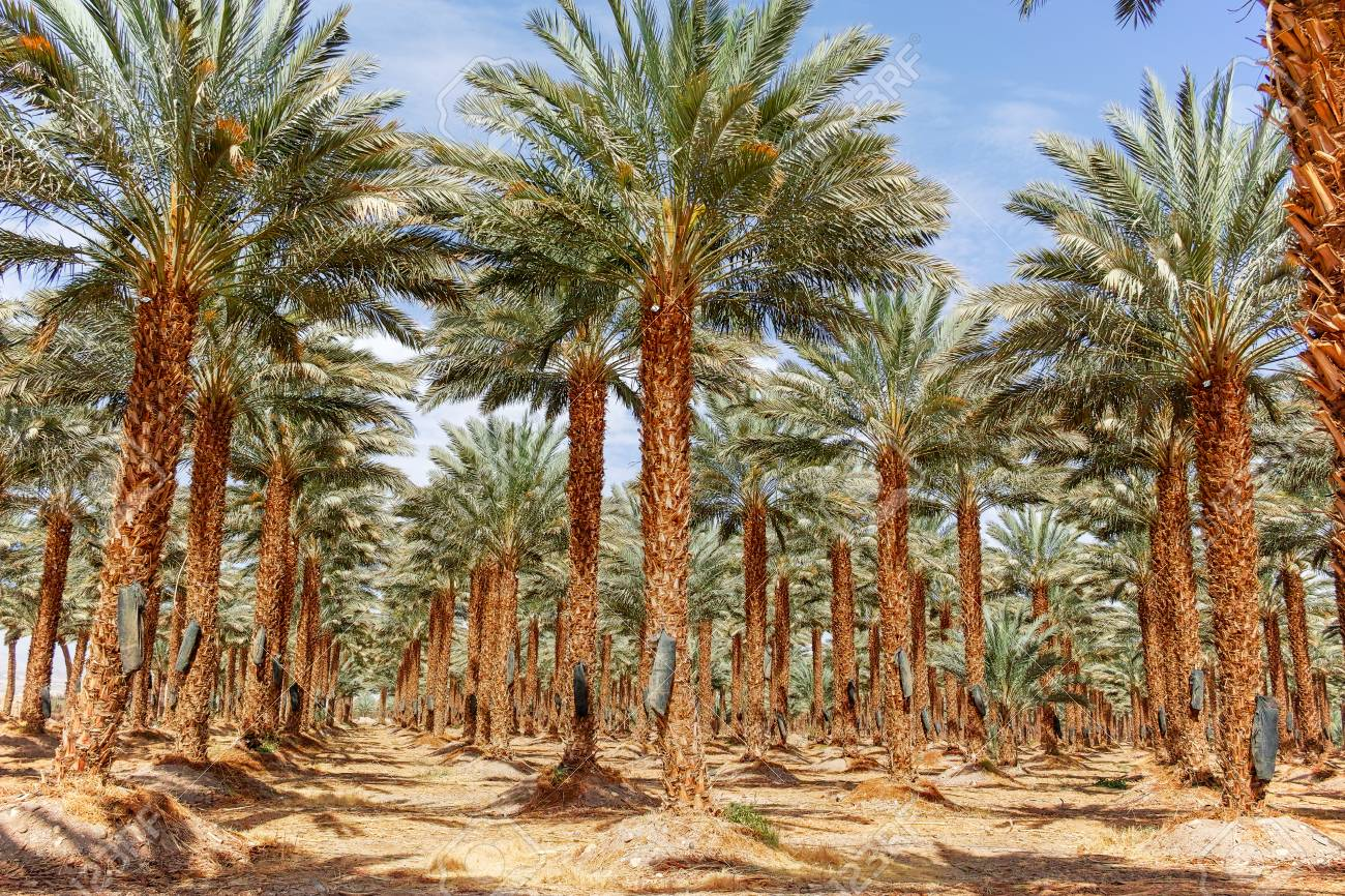 plantation of phoenix dactylifera commonly known as date or date