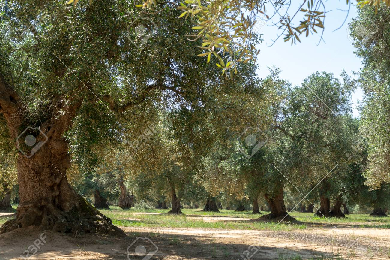 Very old olive trees in Apulia, Italy, famous center of extra virgine olive oil production - 105440928