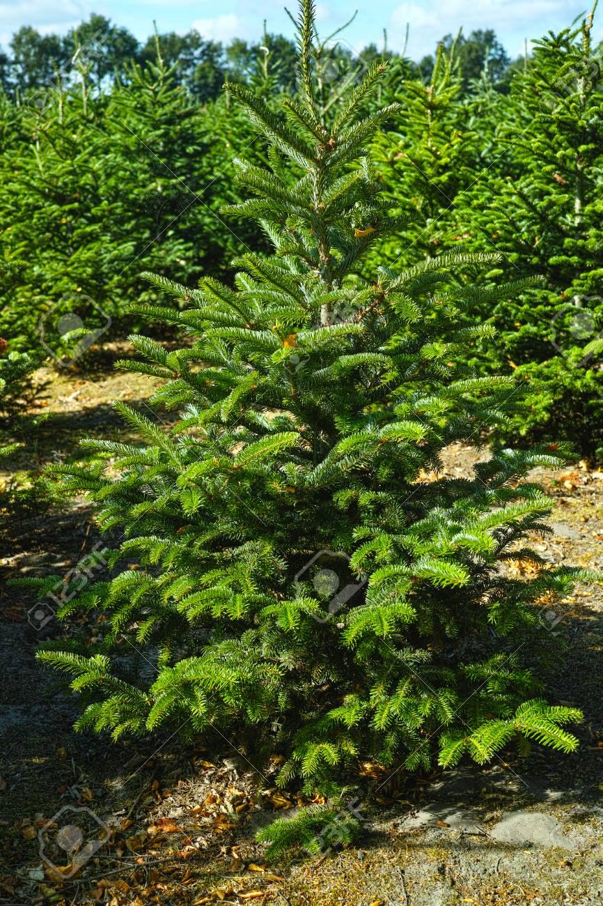 Plantatnion Of Young Green Fir Christmas Trees, Nordmann Fir.. Stock ...
