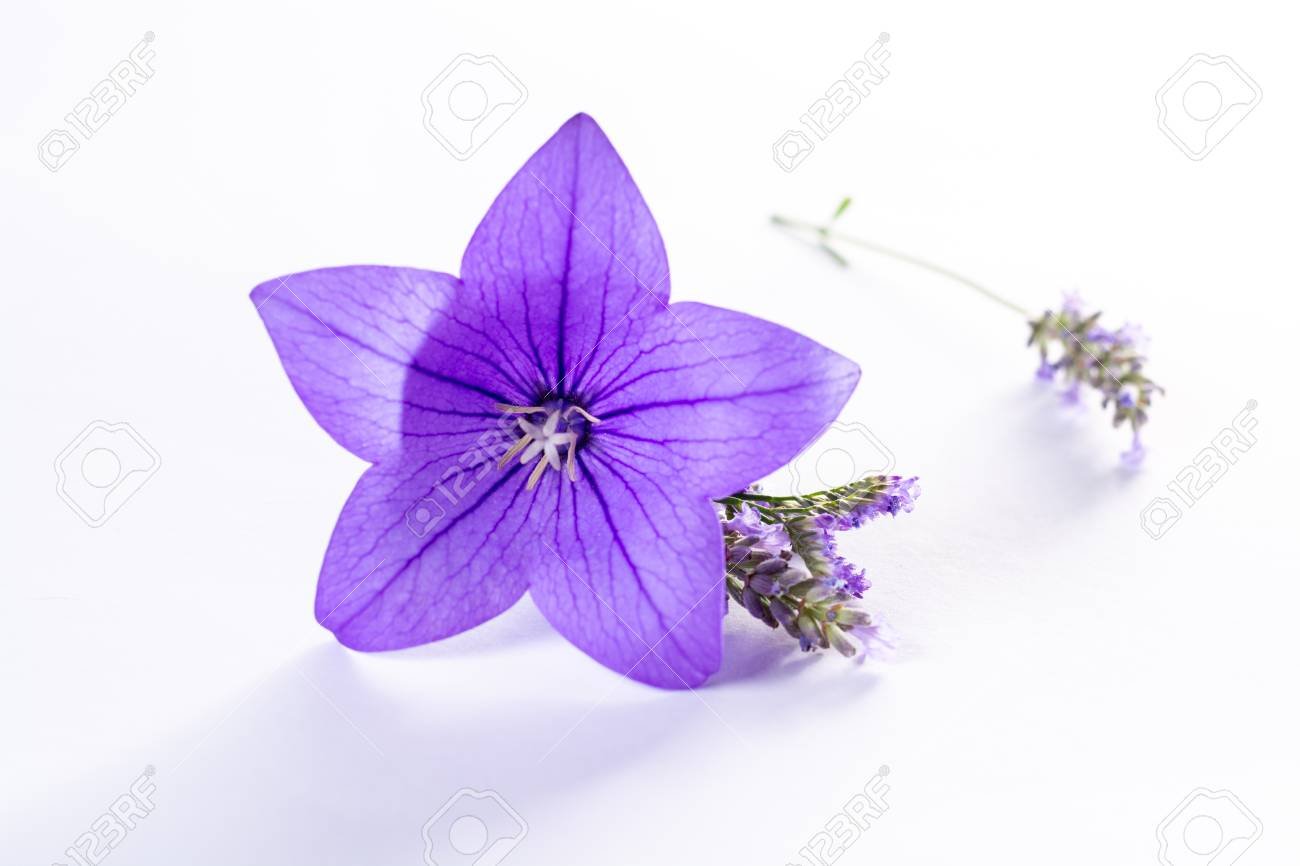 Elegant Small Boutonniere From Purple Balloon Flower Lizenzfreie