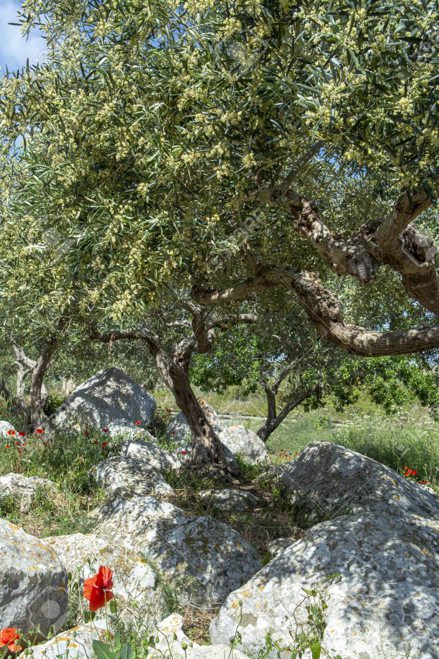 Olive trees growing on farm plantanions in Italy, production