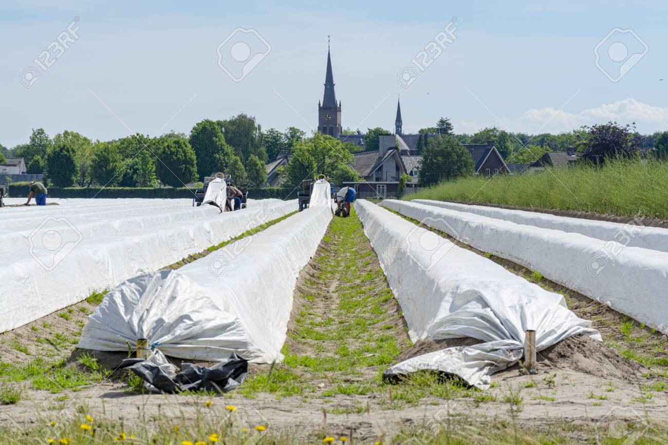 Unindefined workers from Poland working on asparagus fields,