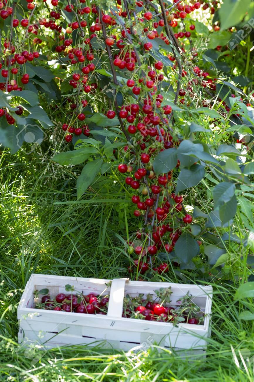 New Harvest Of Prunus Cerasus Sour Cherry Tart Or Dwarf Cherry
