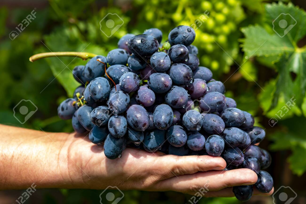 New harvest of blue, purple or red wine or table grape, hand holding bunch of ripe grape on green grape plant background - 128978131