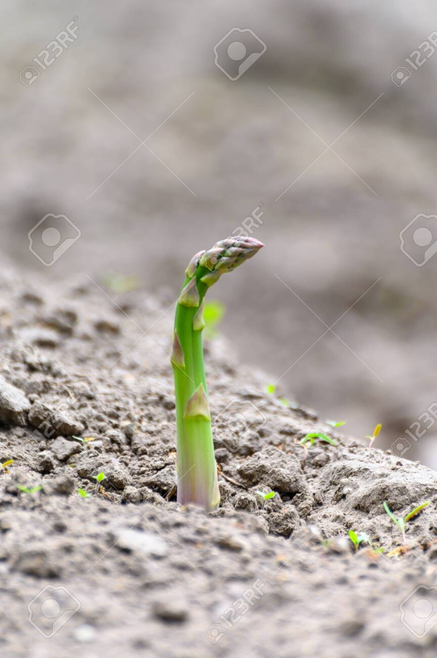 Green Asparagus Plant Growing On Farm Field Ready To Harvest Stock Photo Picture And Royalty Free Image Image 147092723