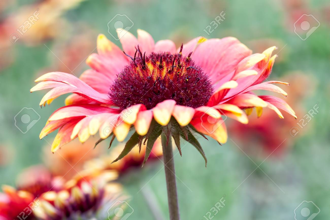 Beautiful red whith yellow flower  Shallow depth of field Stock Photo - 16536901