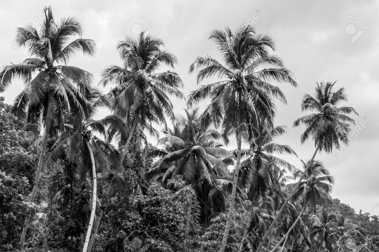 Black White Image Of Palm Trees Taken On A Loboc River Cruise In