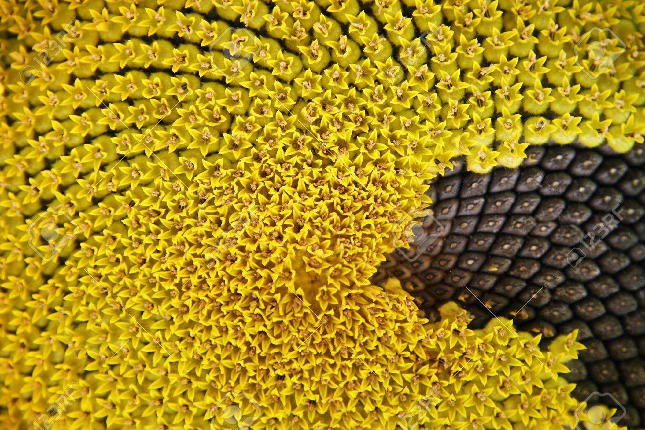 Sunflower Macro Half PhotoHDX