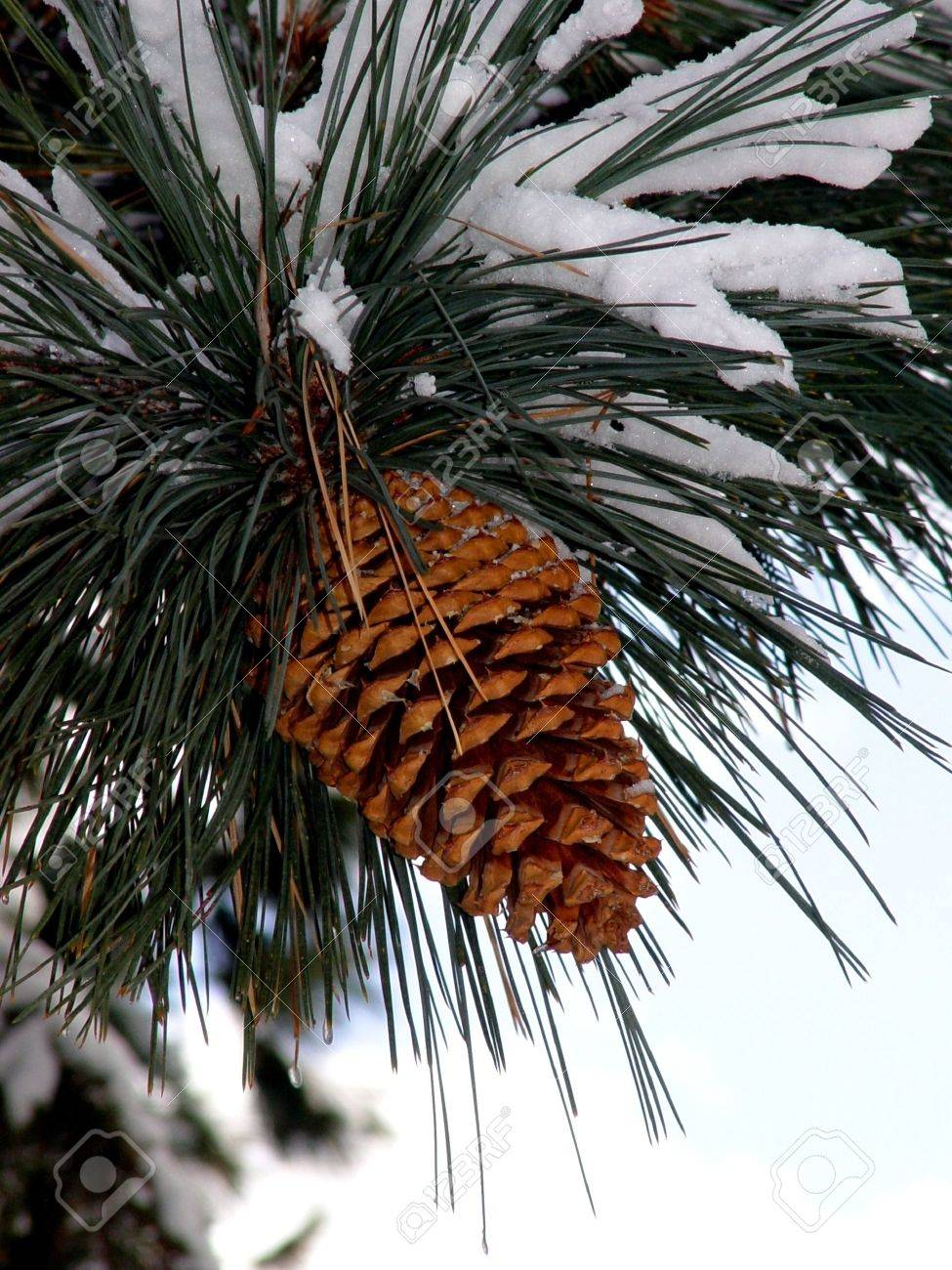 Big Pine Cone on the tree covered with snow Stock Photo - 347492