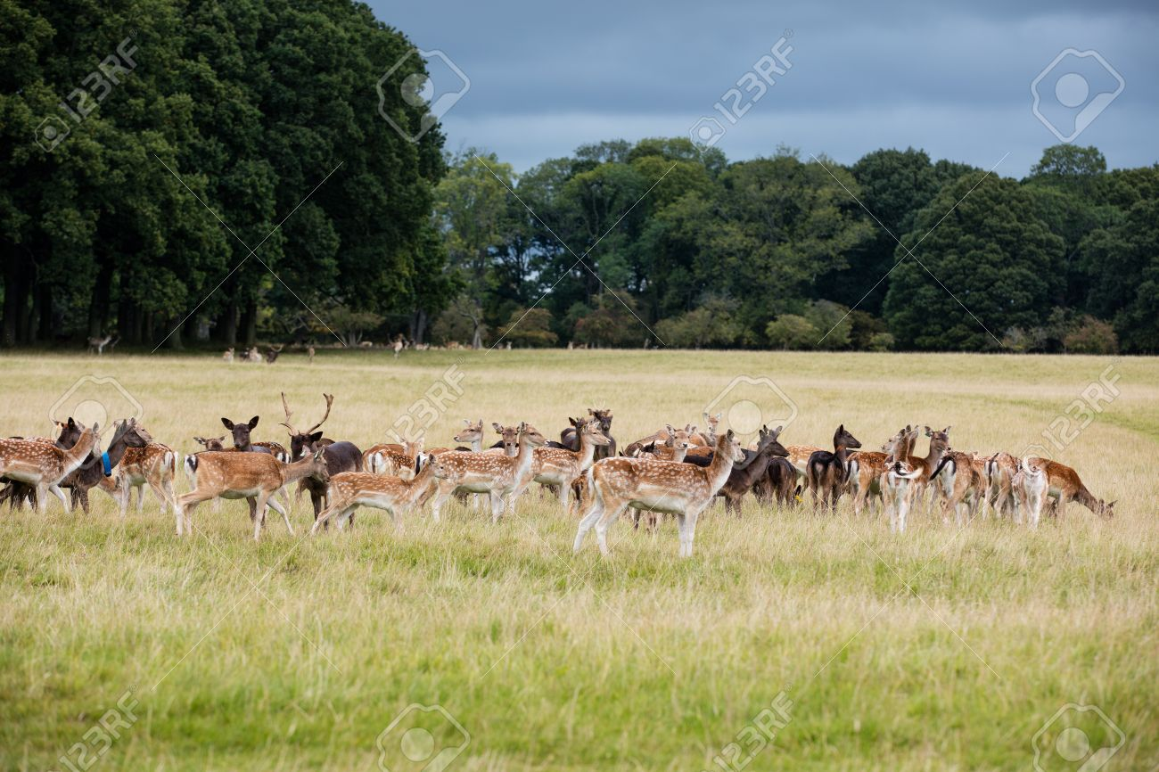 48289515-a-herd-of-deer-in-the-phoenix-park-in-dublin-ireland-one-of-the-largest-walled-city-parks-in-europe-.jpg