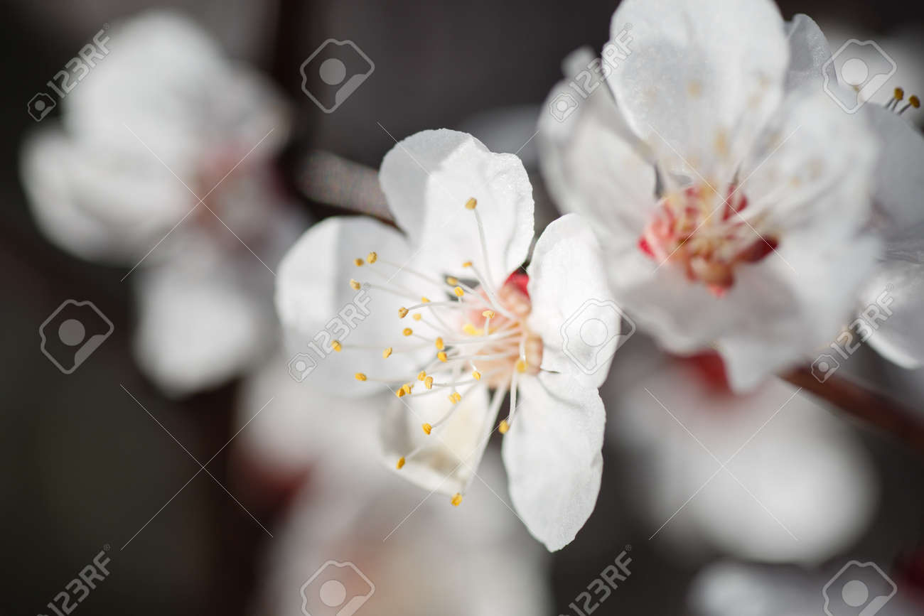 Macro shot of branch with pink apricot tree flowers in full bloom with blurred background in spring garden on sunny day, beautiful outdoor floral background - 169050932