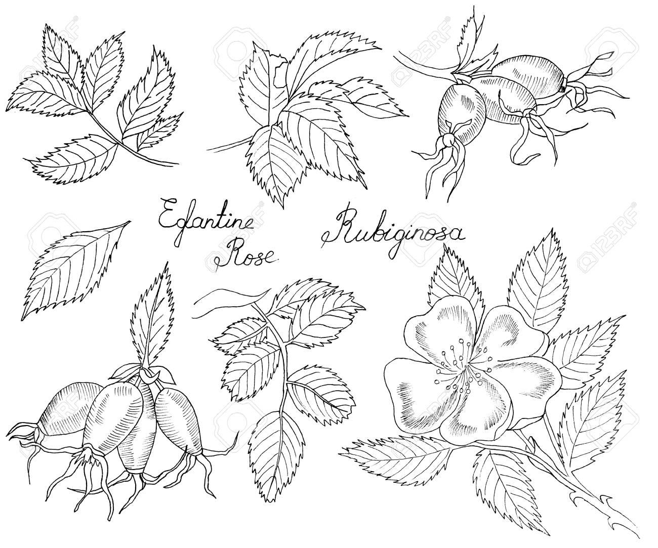 Graphic Branch Og Eglantine Rose Flower With Barries On White