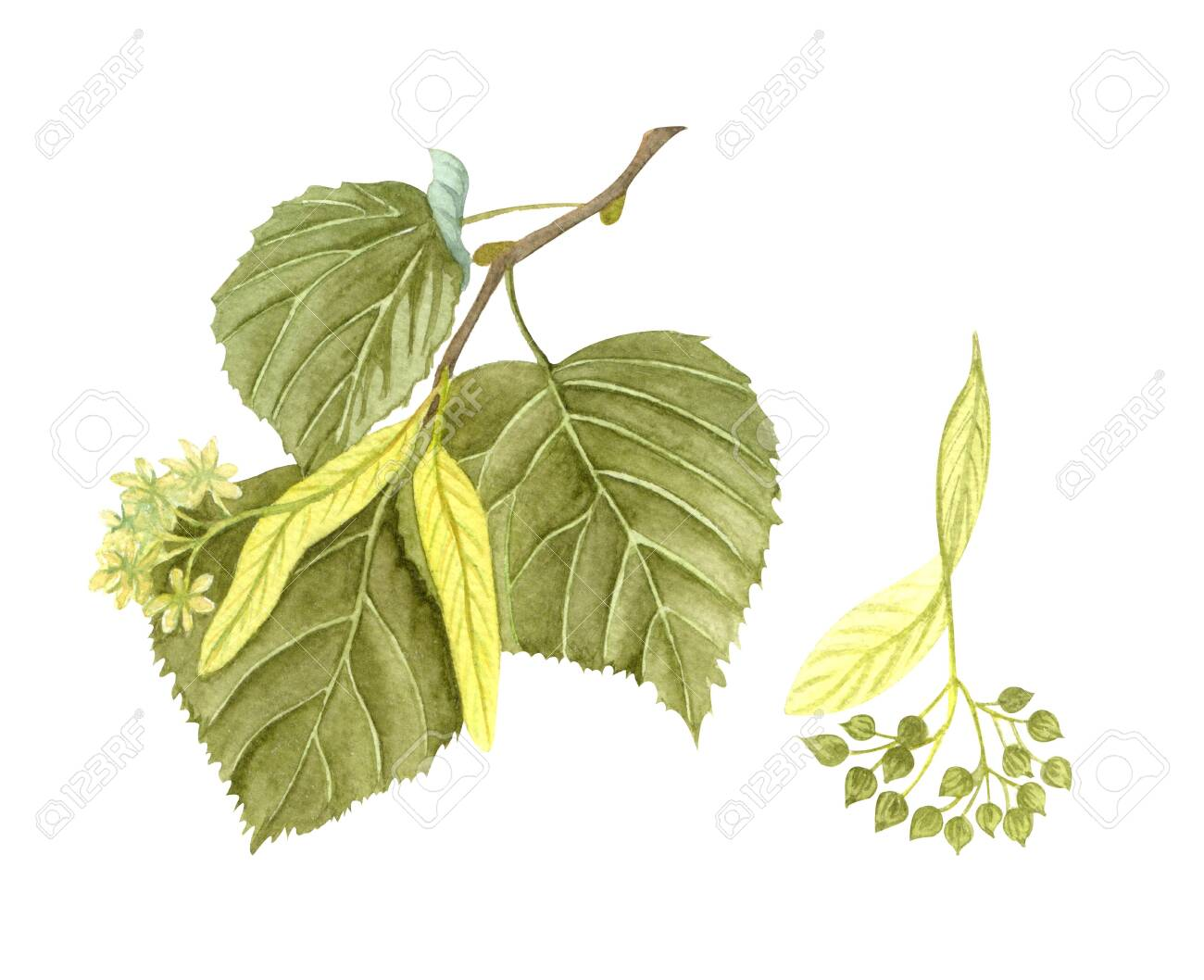 Watercolor blossoming linden twig with leaves, flowers and seeds. Hand painted floral illustration isolated on white background. Honey herb. - 146205089