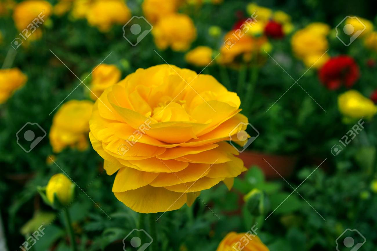 Buttercup Flower Stock Photo - 16531059