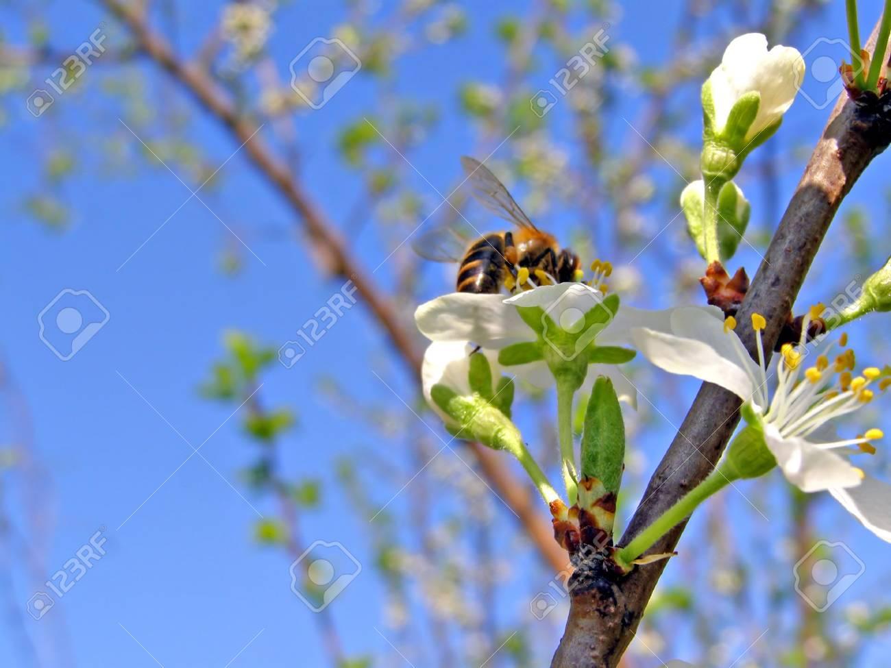 bee on flowerses plum Stock Photo - 5999128