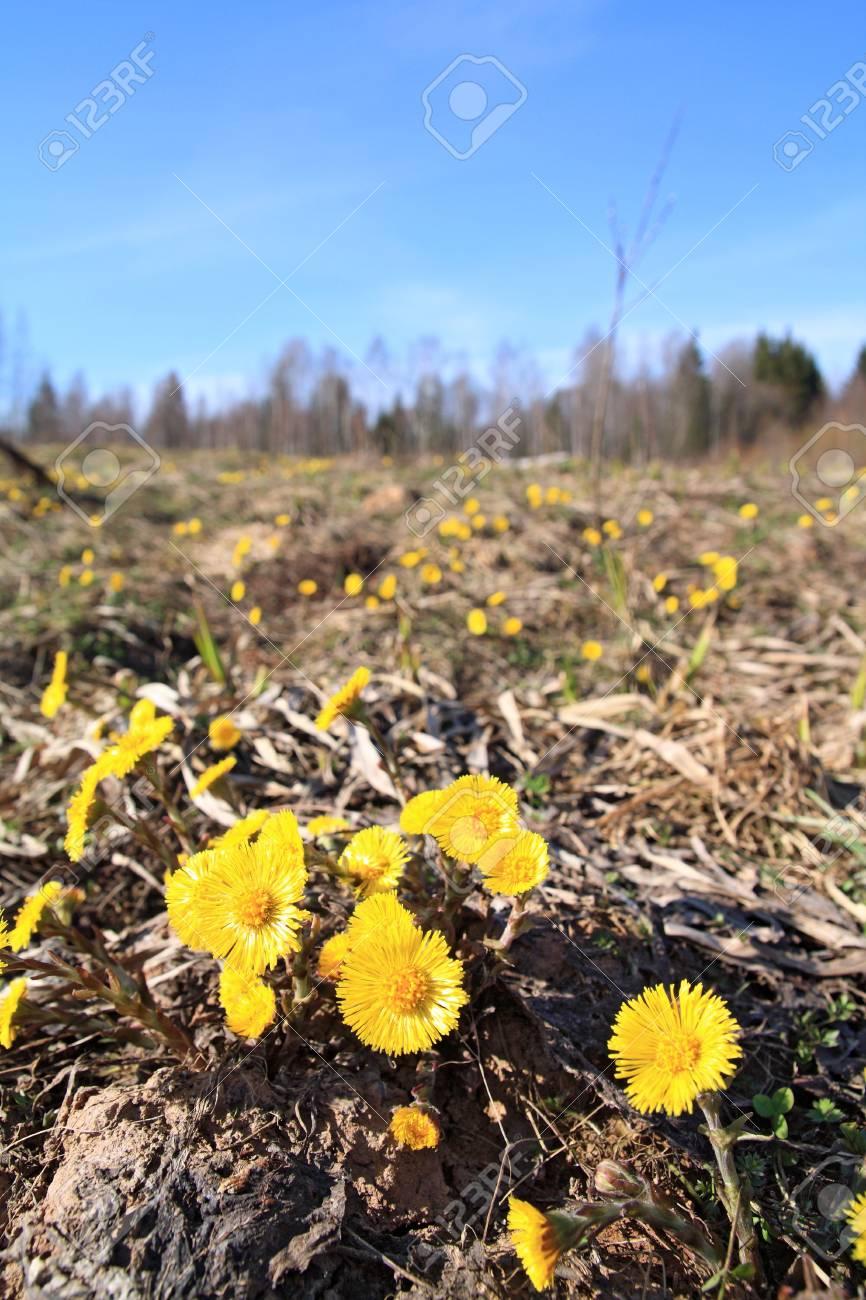 yellow dandelion on spring field Stock Photo - 9492652