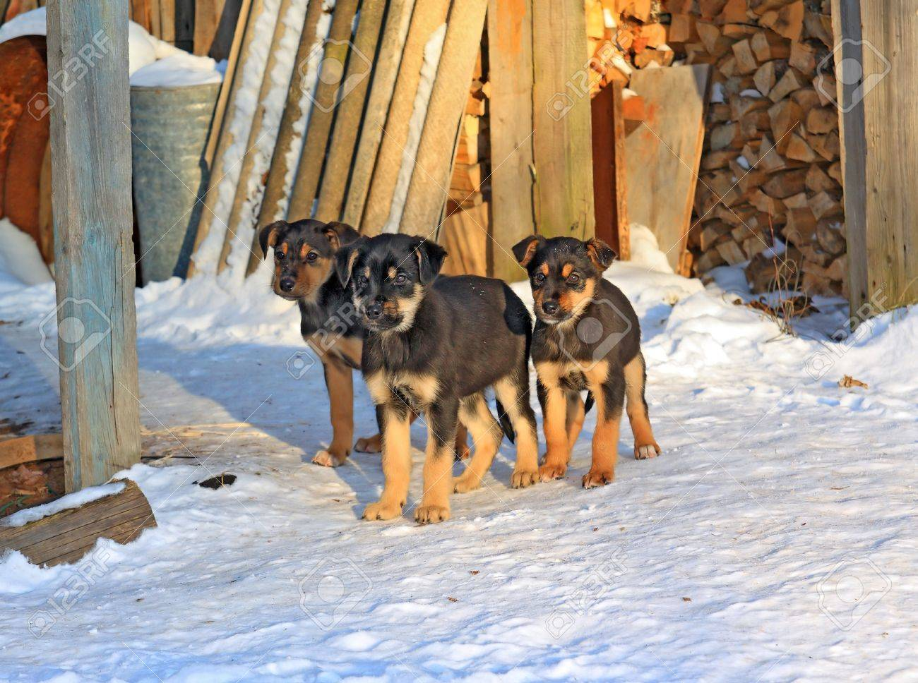 Three Puppies On Cool Snow Stock Photo Picture And Royalty Free