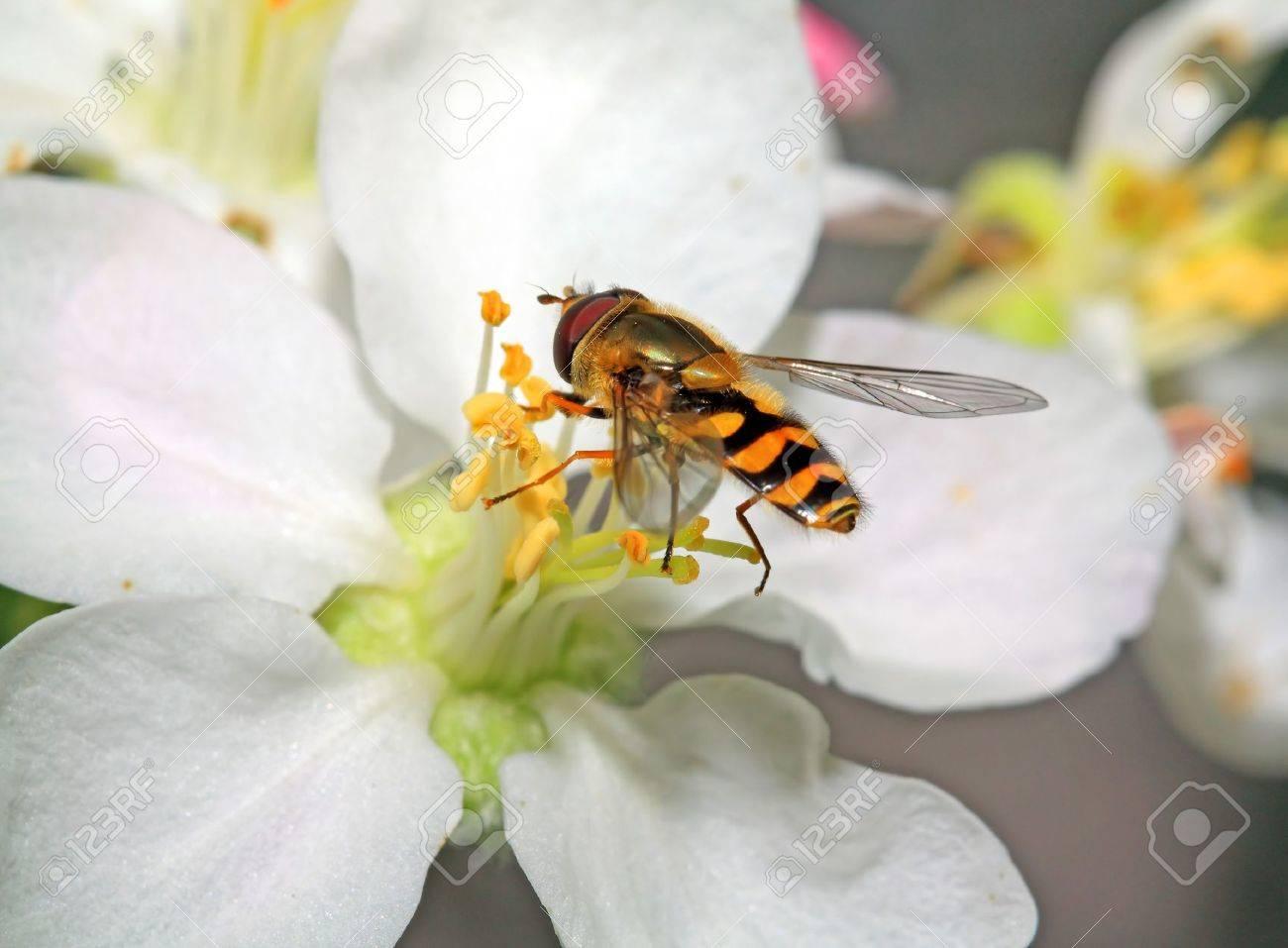 yellow wasp on aple tree flower Stock Photo - 14263876