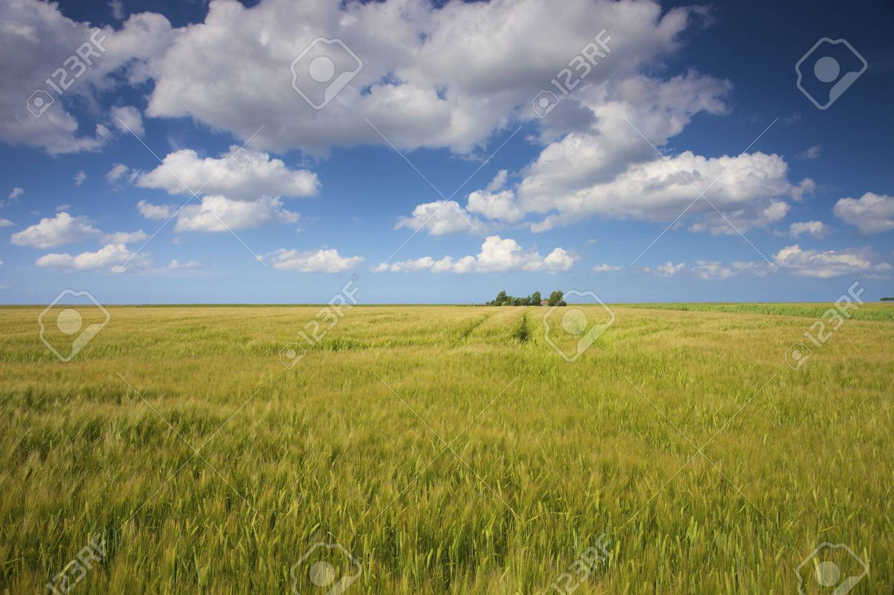 a field of green and yellow grain in summer with a blue sky and white clouds Stock Photo - 5168879