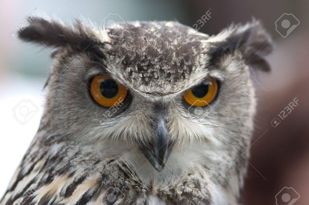 Portrait of an Eurasian Eagle Owl with orange eyes Standard-Bild - 5918769
