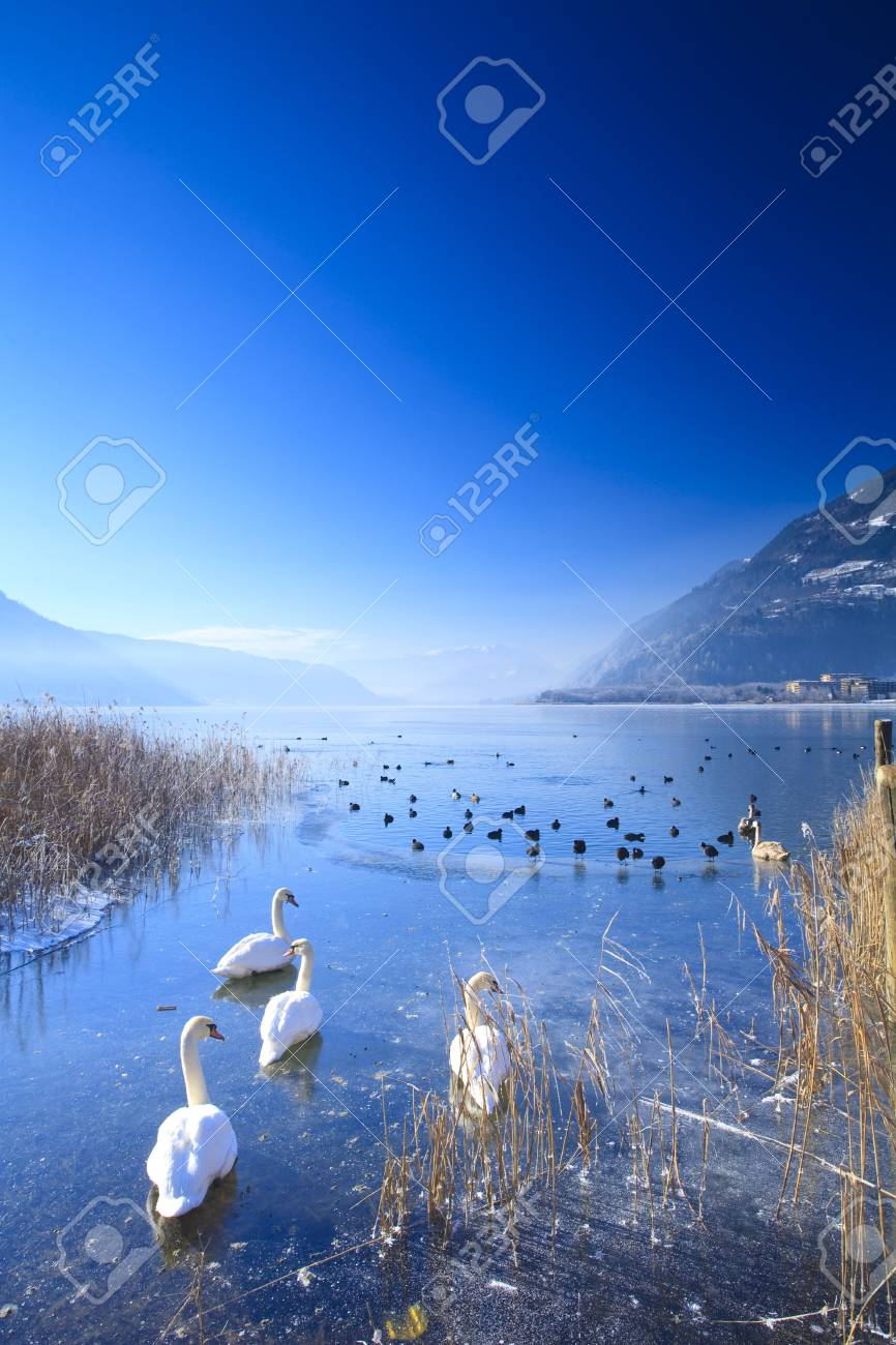 Frozen lake in the alps with swans and ducks on ice in winter Standard-Bild - 5918842