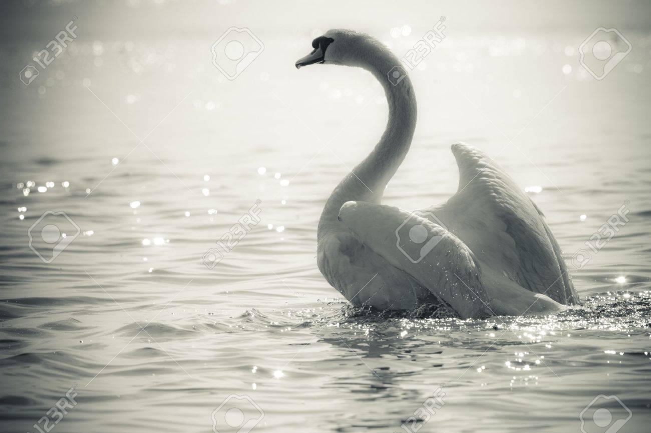 Graceful Swan on a lake in black and white Standard-Bild - 7704132