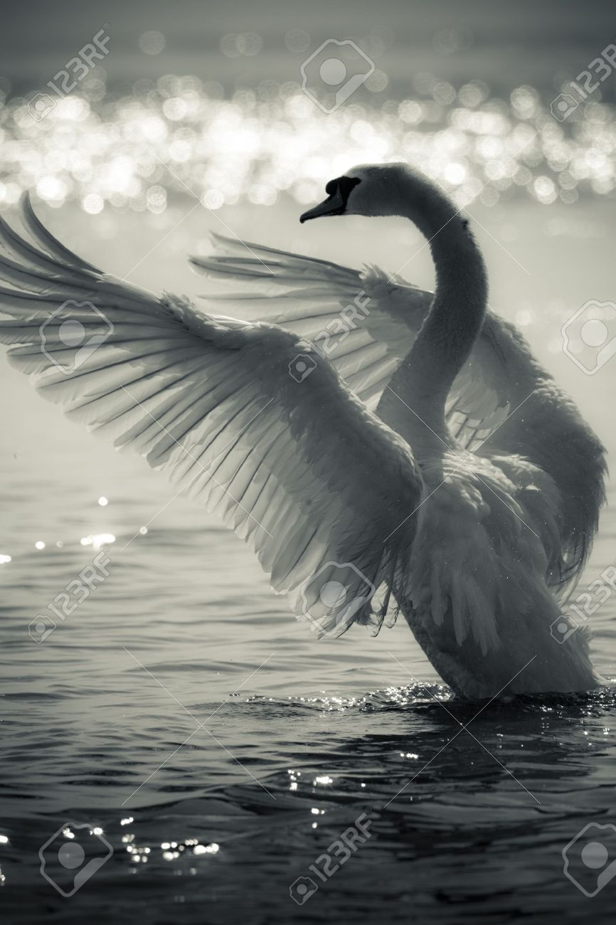 swan stock photos royalty free swan images and pictures