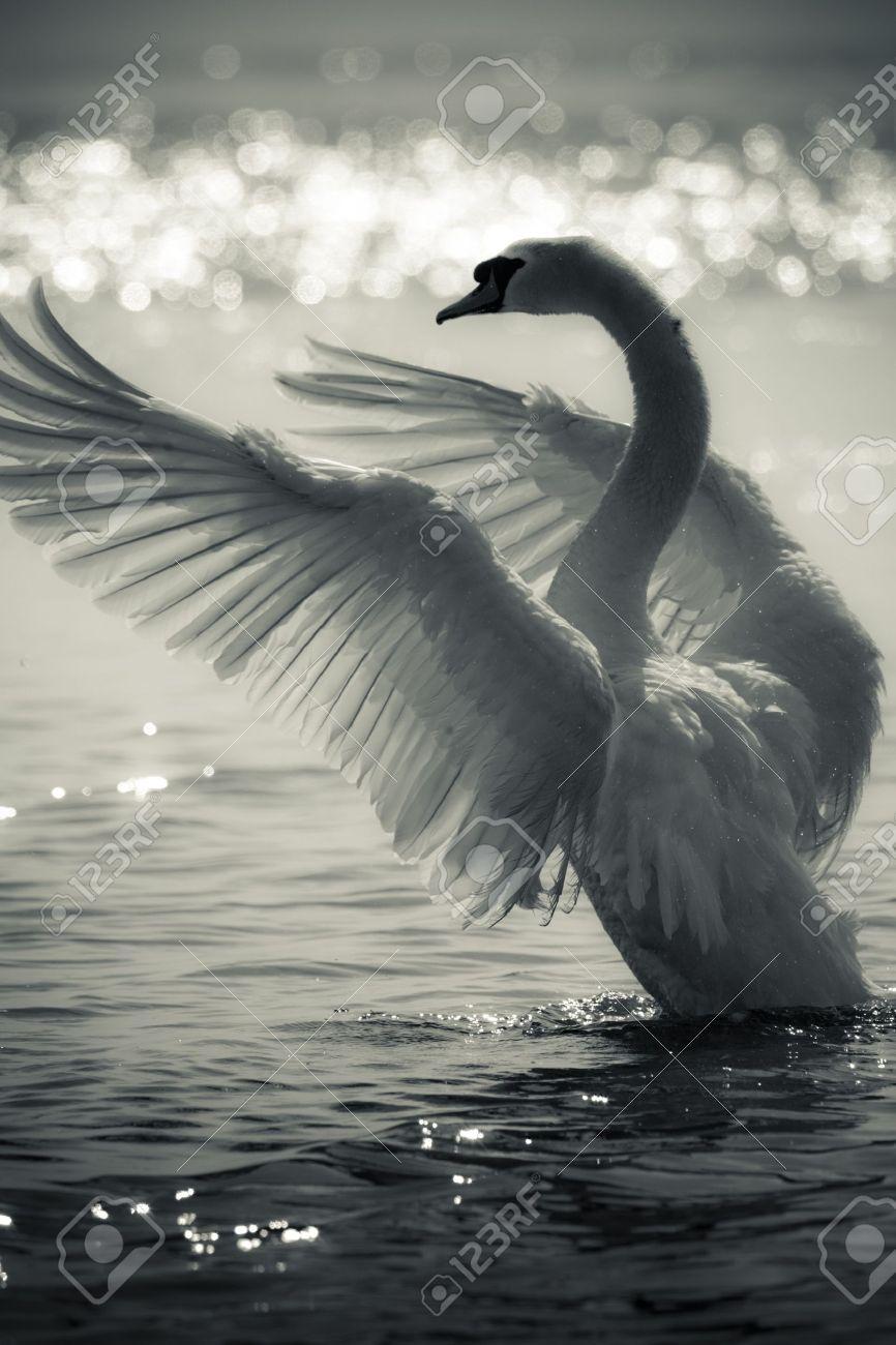 Graceful Swan on a lake in black and white Standard-Bild - 7704156