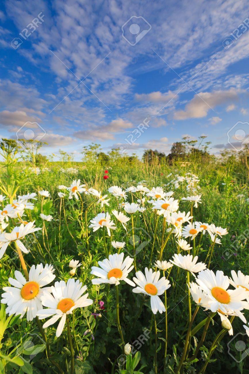 Beautiful field of flowers in summer Standard-Bild - 9762611