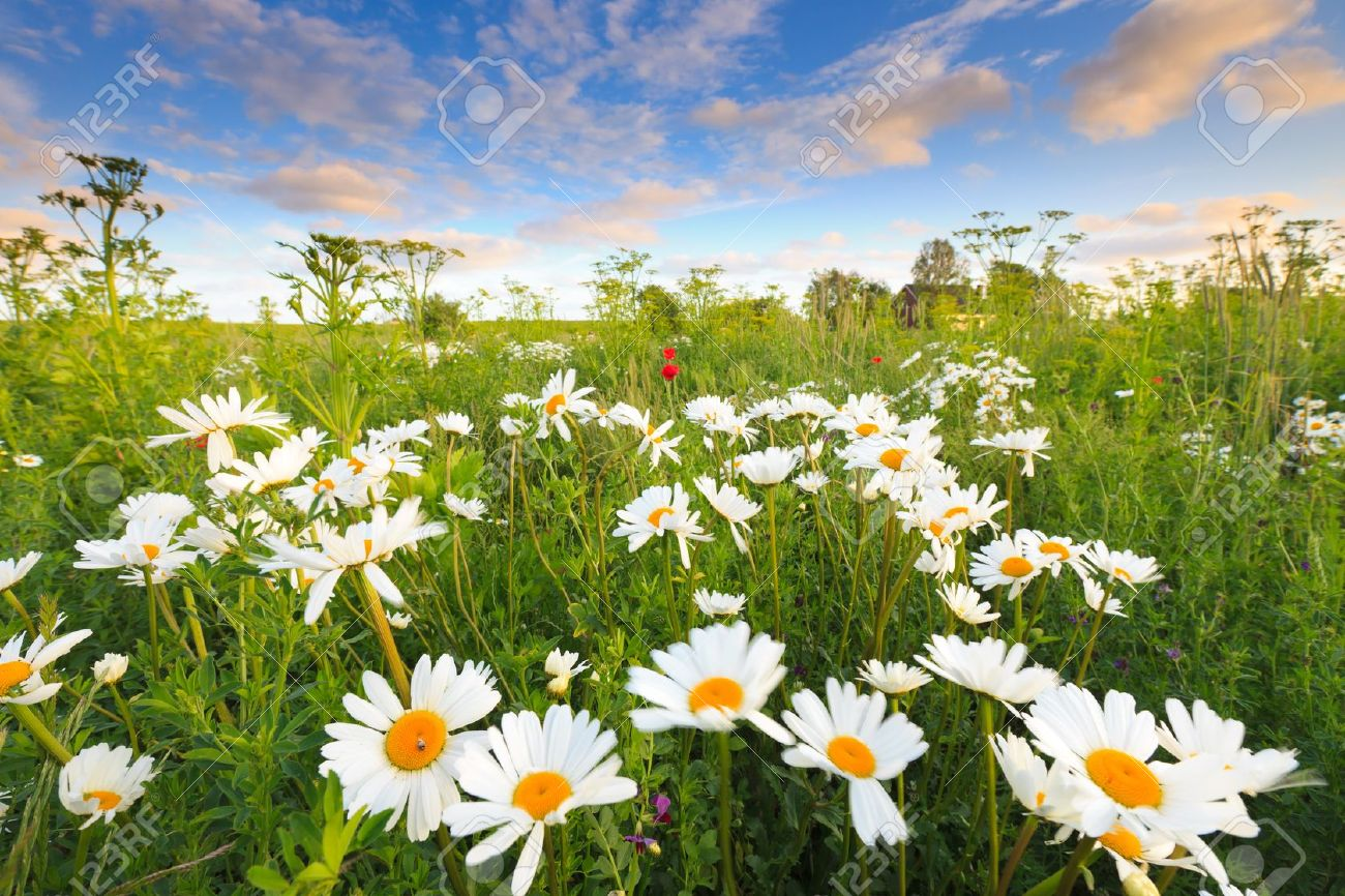 Beautiful Field Of Flowers In Summer Stock Photo Picture And