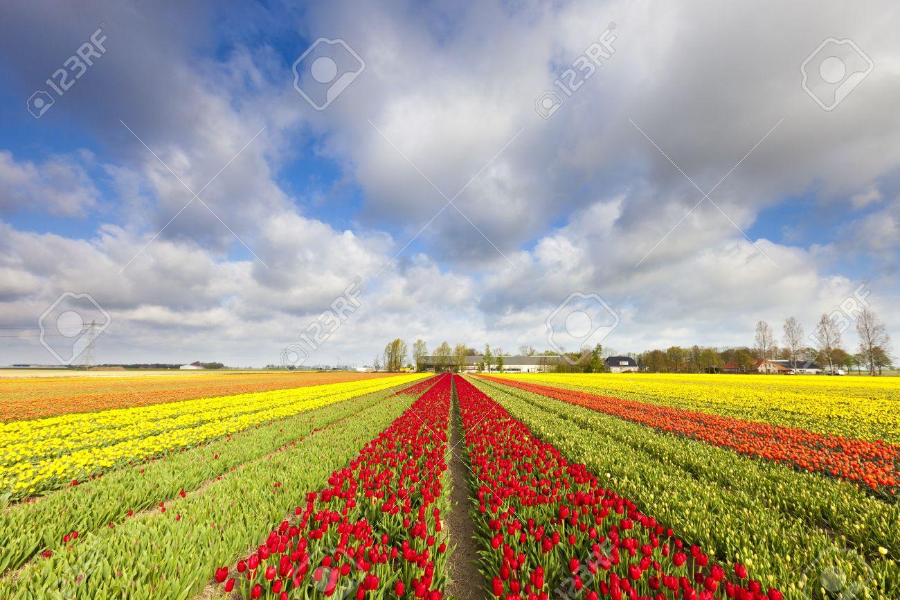 Tulips in a field in Holland in summer Standard-Bild - 13874958