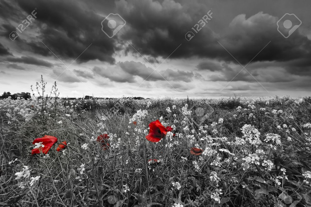 Poppies in a field in black and white Standard-Bild - 13874960