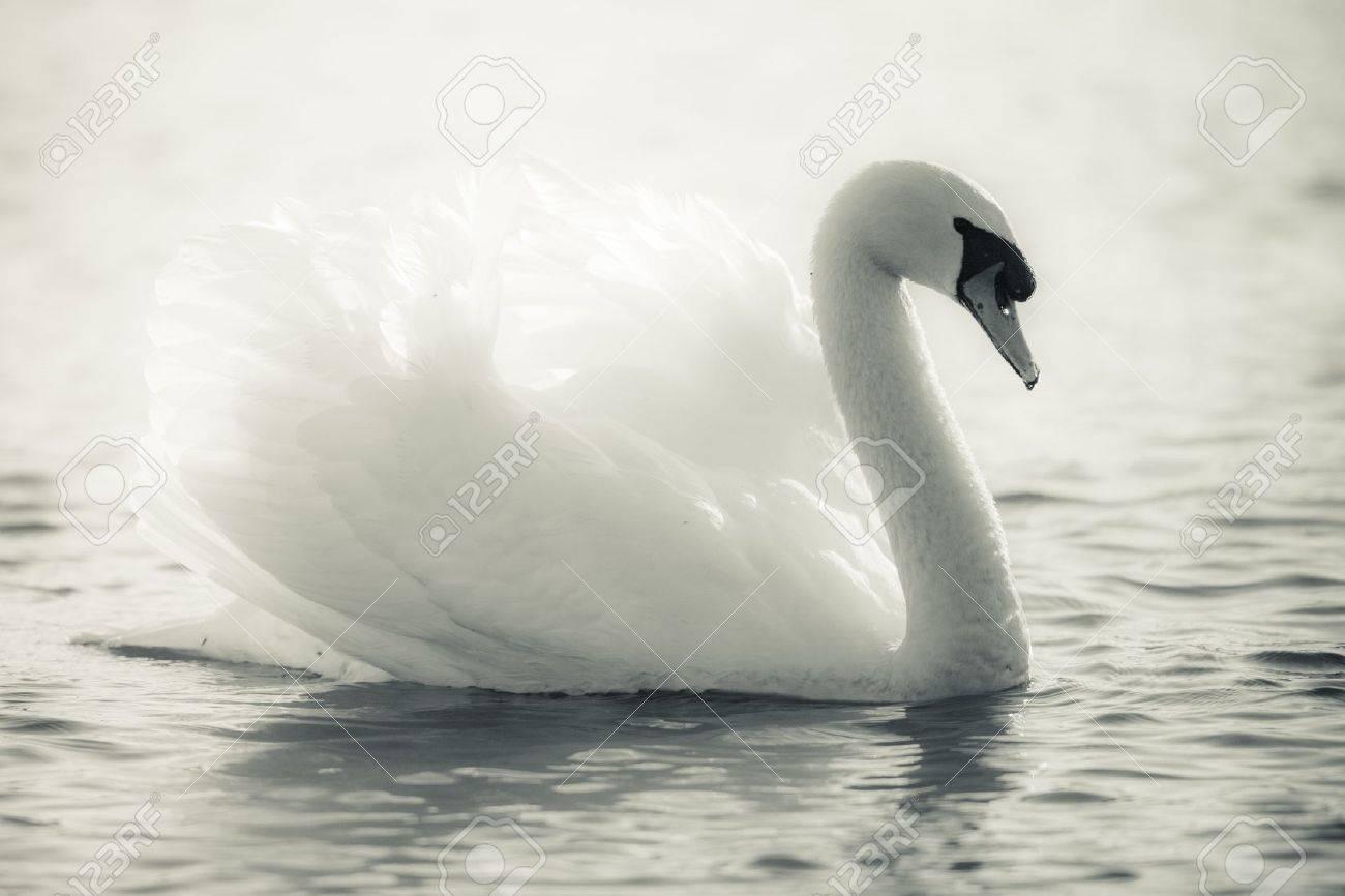 Graceful Swan on a lake in black and white Standard-Bild - 13874919