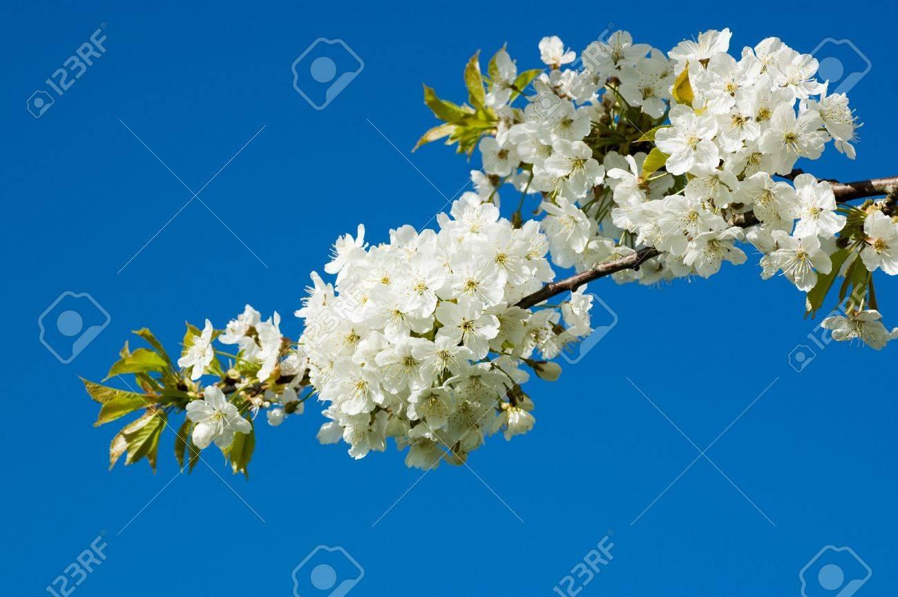 A flowering cherry tree bursting with white blossom in the spring a flowering cherry tree bursting with white blossom in the spring stock photo 14497599 mightylinksfo