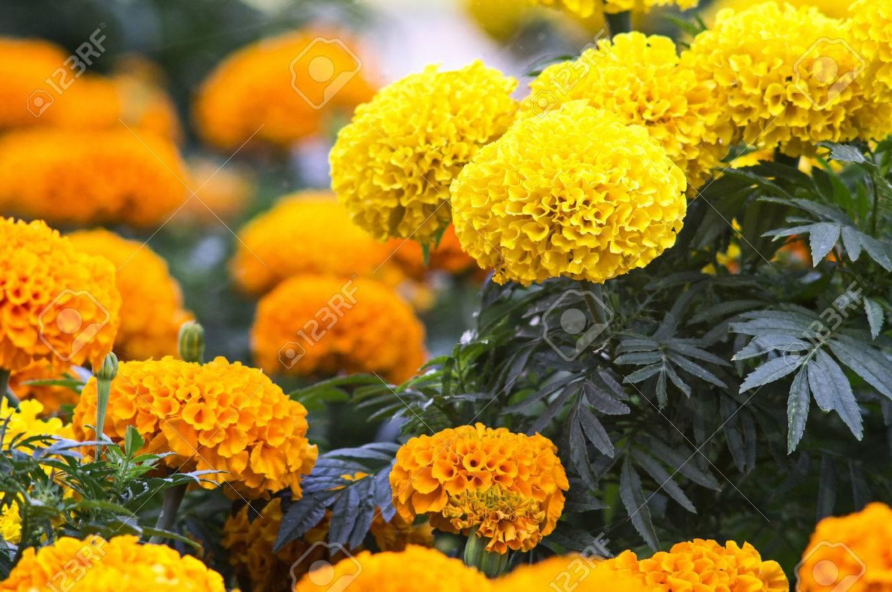 写真素材 , 美しいマリーゴールドの花