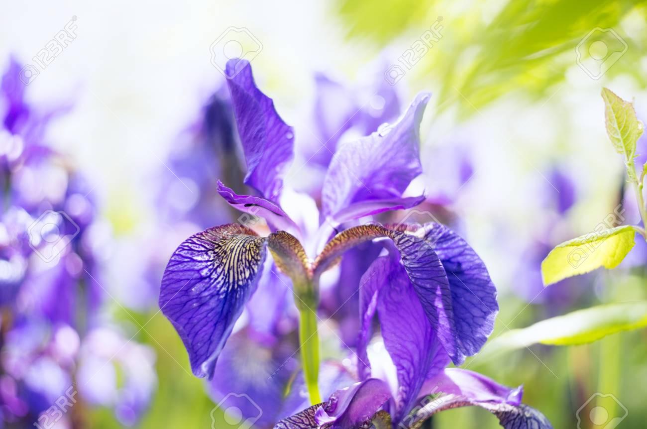 A photo of a beautiful siberian iris flower in a garden the stock a photo of a beautiful siberian iris flower in a garden the alternative name of izmirmasajfo