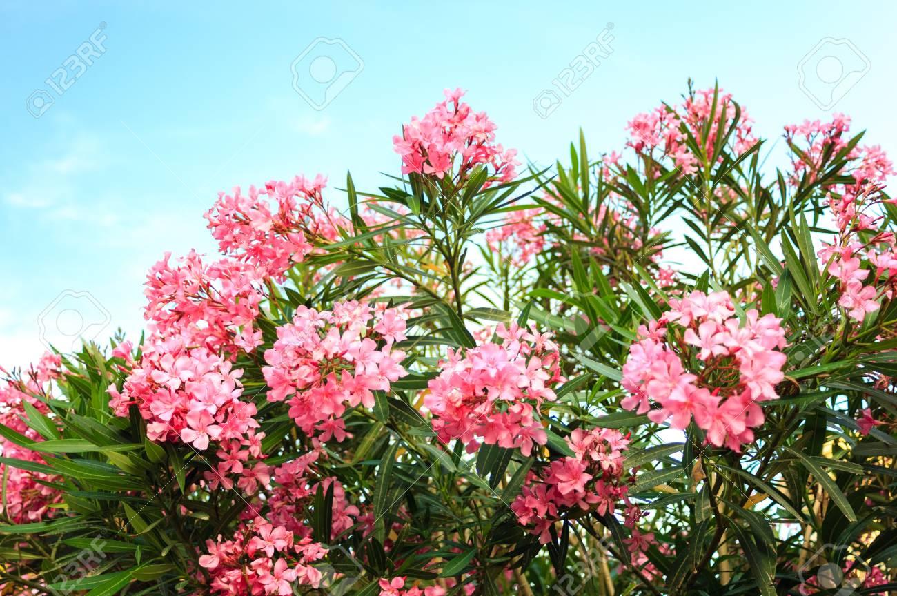 Pink Flowering Bush With Oleander Flowers On Sky Background Stock