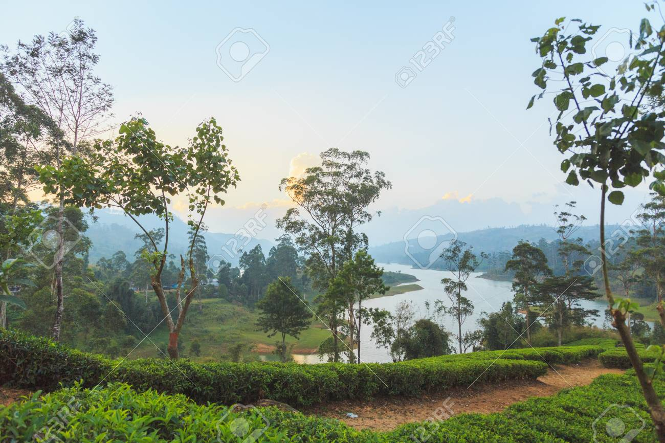 green tea plantations high in the mountains ロイヤリティーフリー