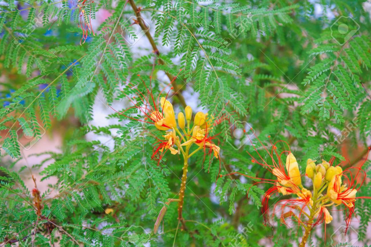 Bird Of Paradise Shrub Or Erythrostemon Gilliesii Bright Yellow