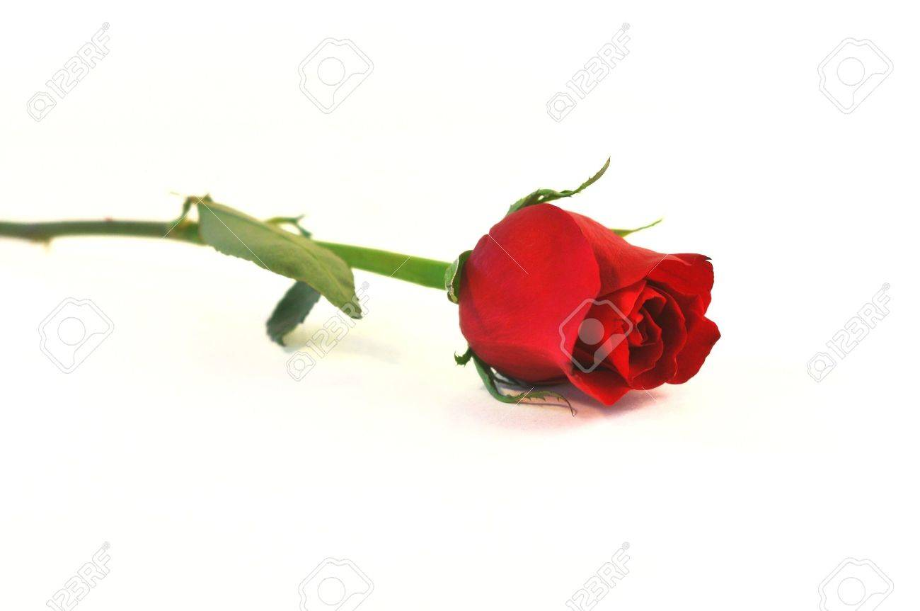 A Isolated Shot Of A Single Rose With Stem Out Of Focus Stock Photo Picture And Royalty Free Image Image 4288121