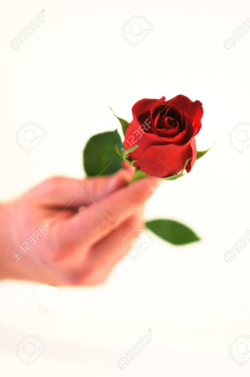 a isolated rose with the bud in focus and the hand and stem out of focus Stock Photo - 4288123