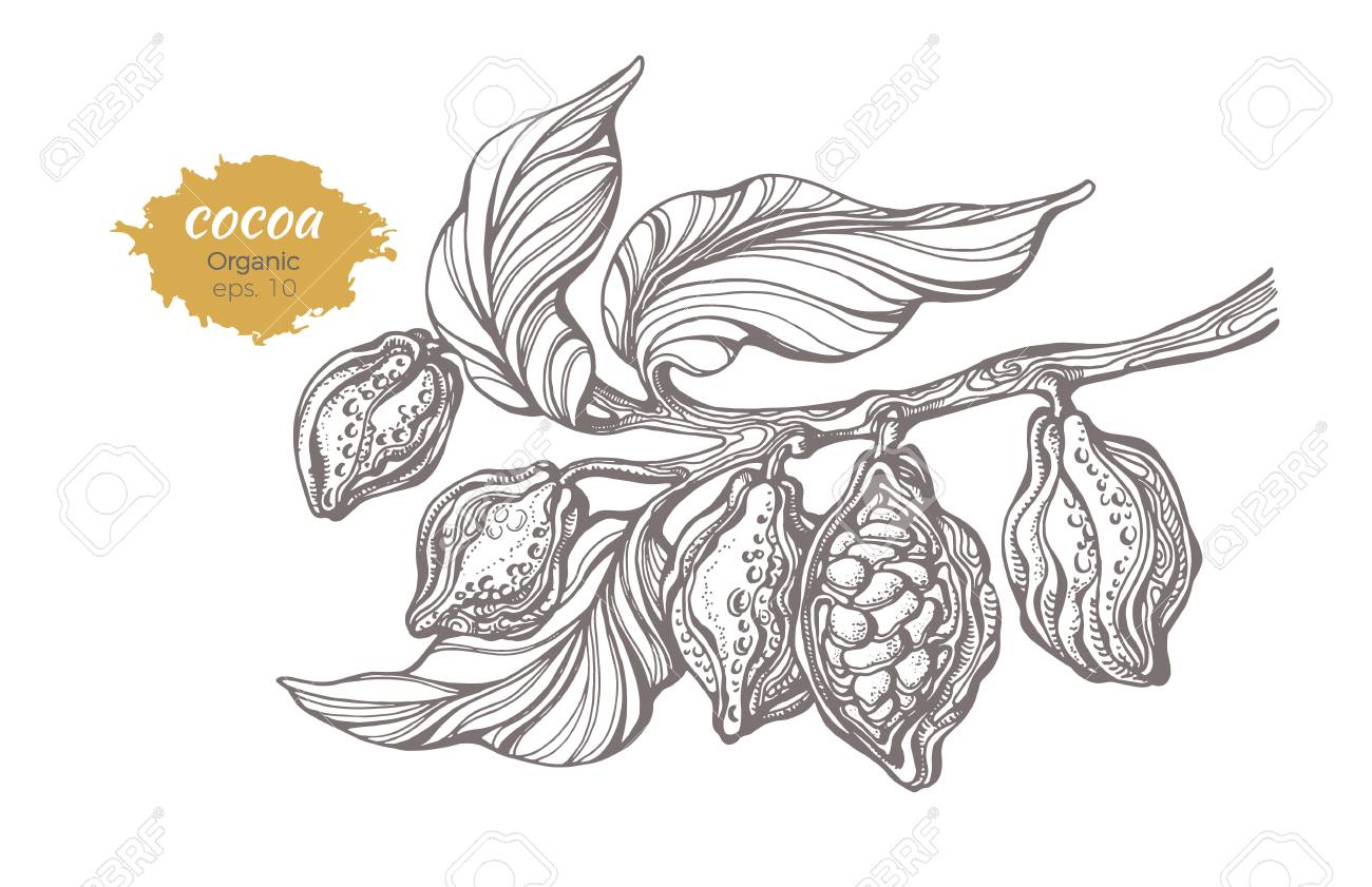 Vector Sketch Of Cocoa Tree Branch With Leaves And Beans Botanical Royalty Free Cliparts Vectors And Stock Illustration Image 93941354