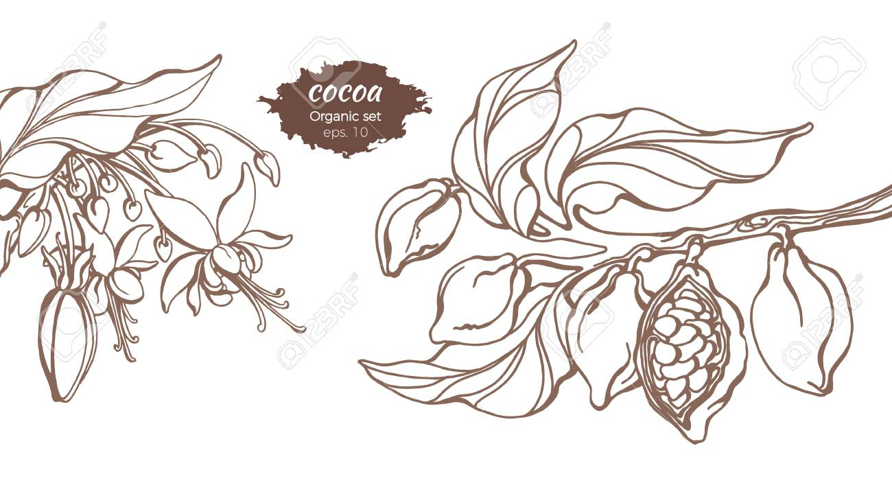 Vector template of cocoa tree branches with leaf, flower and bean. Botanical drawing. Simple sketch design, floral realistic set. Organic food. Illustration isolated on white background. Copy space - 104196063