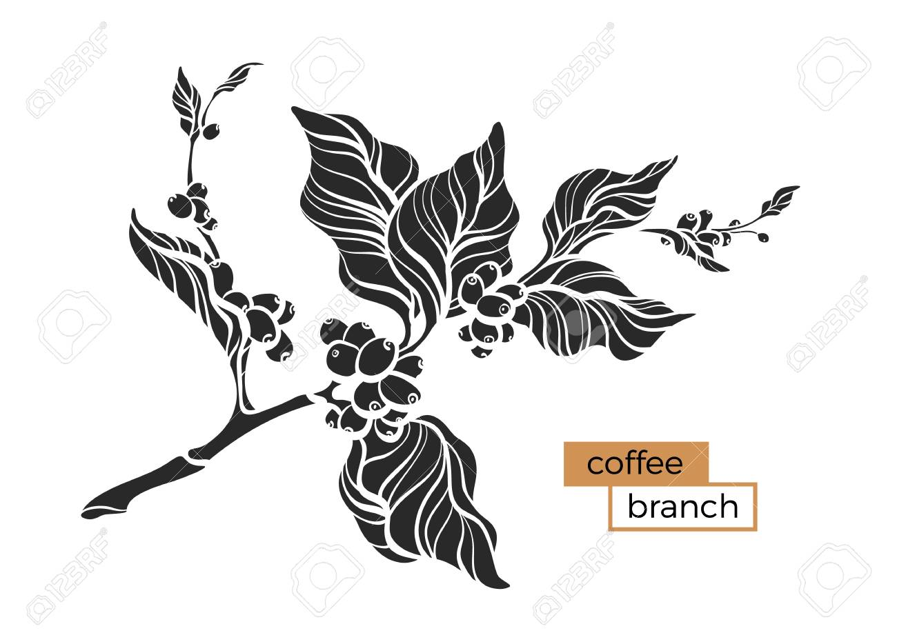 vector coffee branch with leaf and coffee beans botanical shape