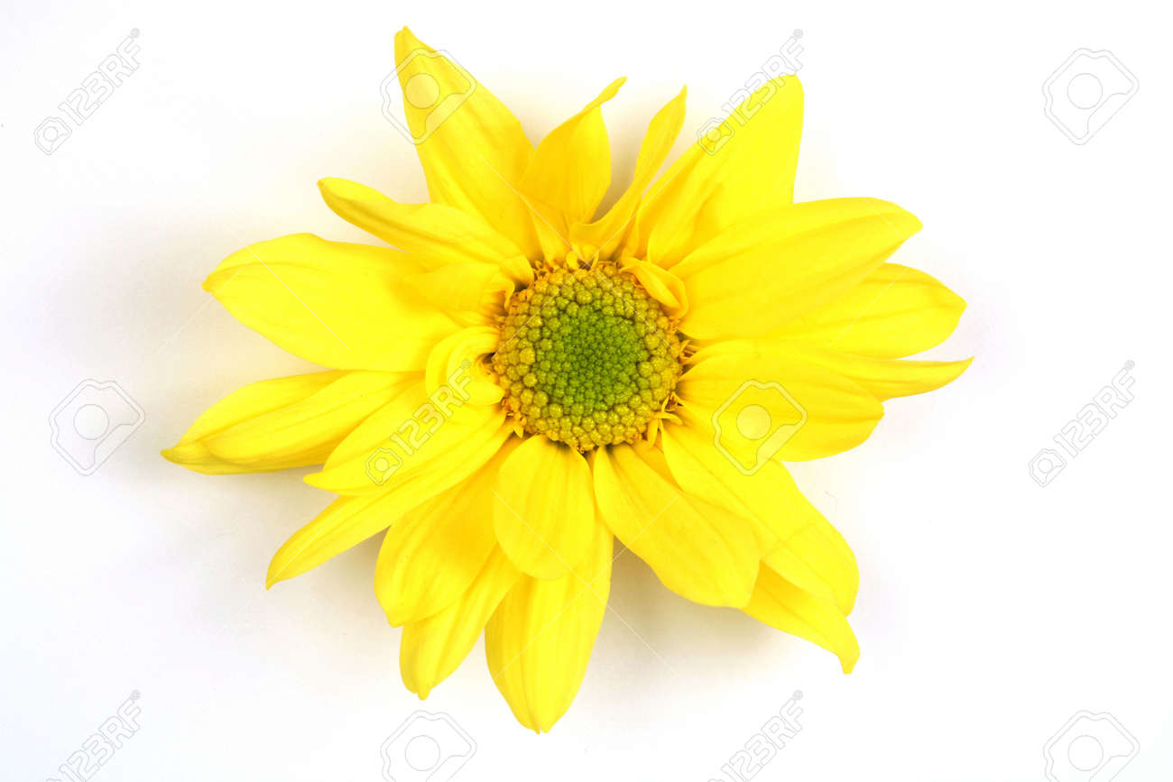 Yellow Star Shaped Flower On A White Background Stock Photo