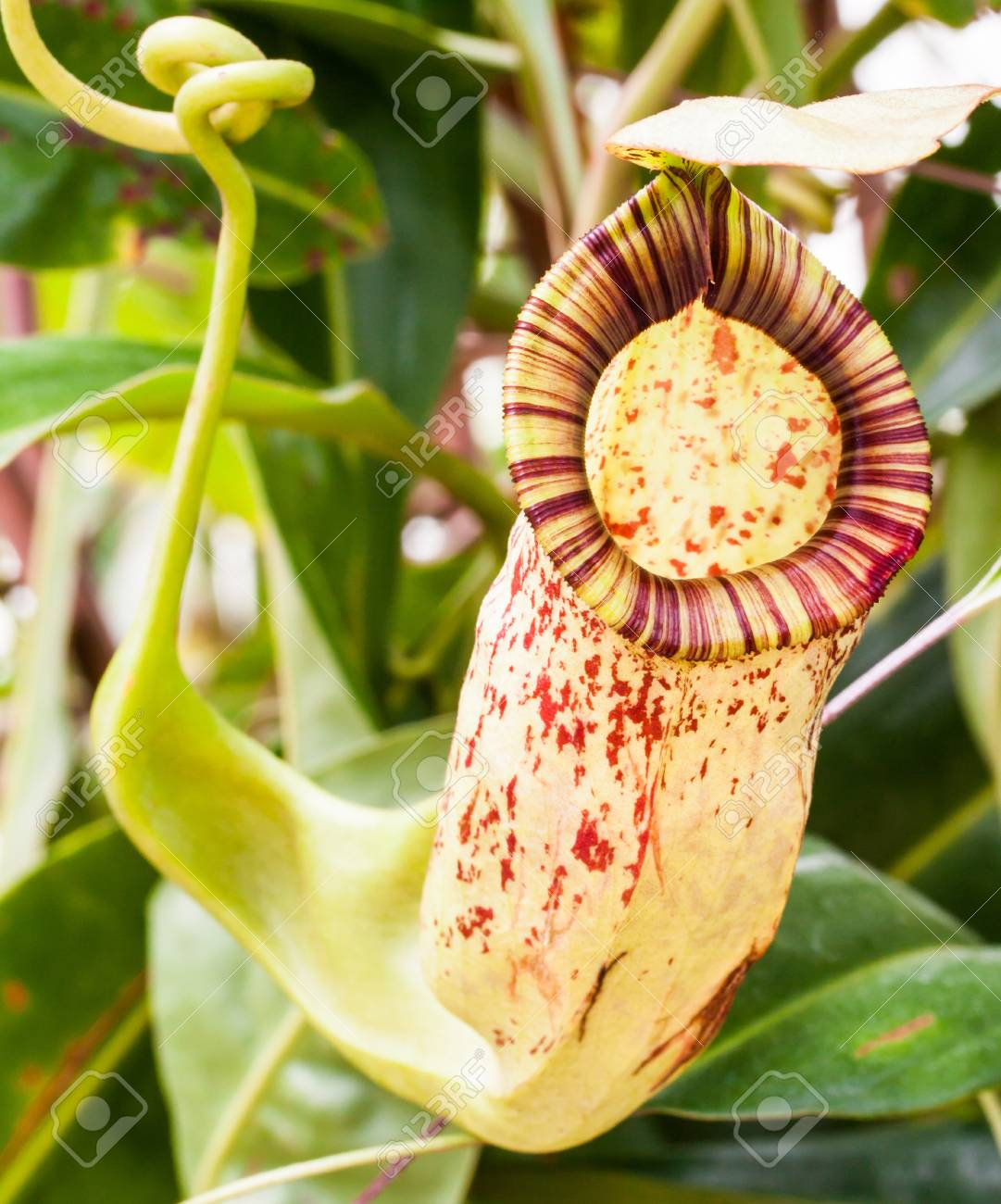 Tropical exotic carnivorous Stock Photo - 15028316