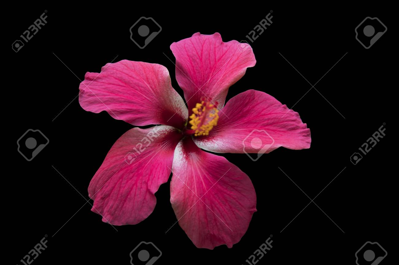 A red hibiscus flower isolated on black background stock photo a red hibiscus flower isolated on black background stock photo 79171735 izmirmasajfo