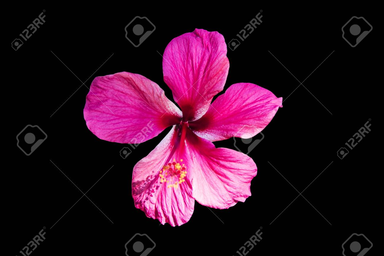A red hibiscus flower isolated on black background stock photo a red hibiscus flower isolated on black background stock photo 80989569 izmirmasajfo
